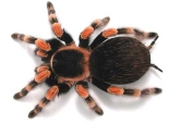 tarantula red knee