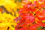 red_and_yellow_autumn_leaves_199352